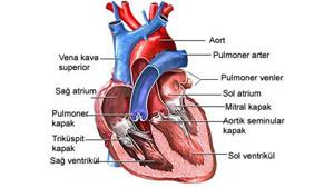 pulmoner kalp ameliyatı